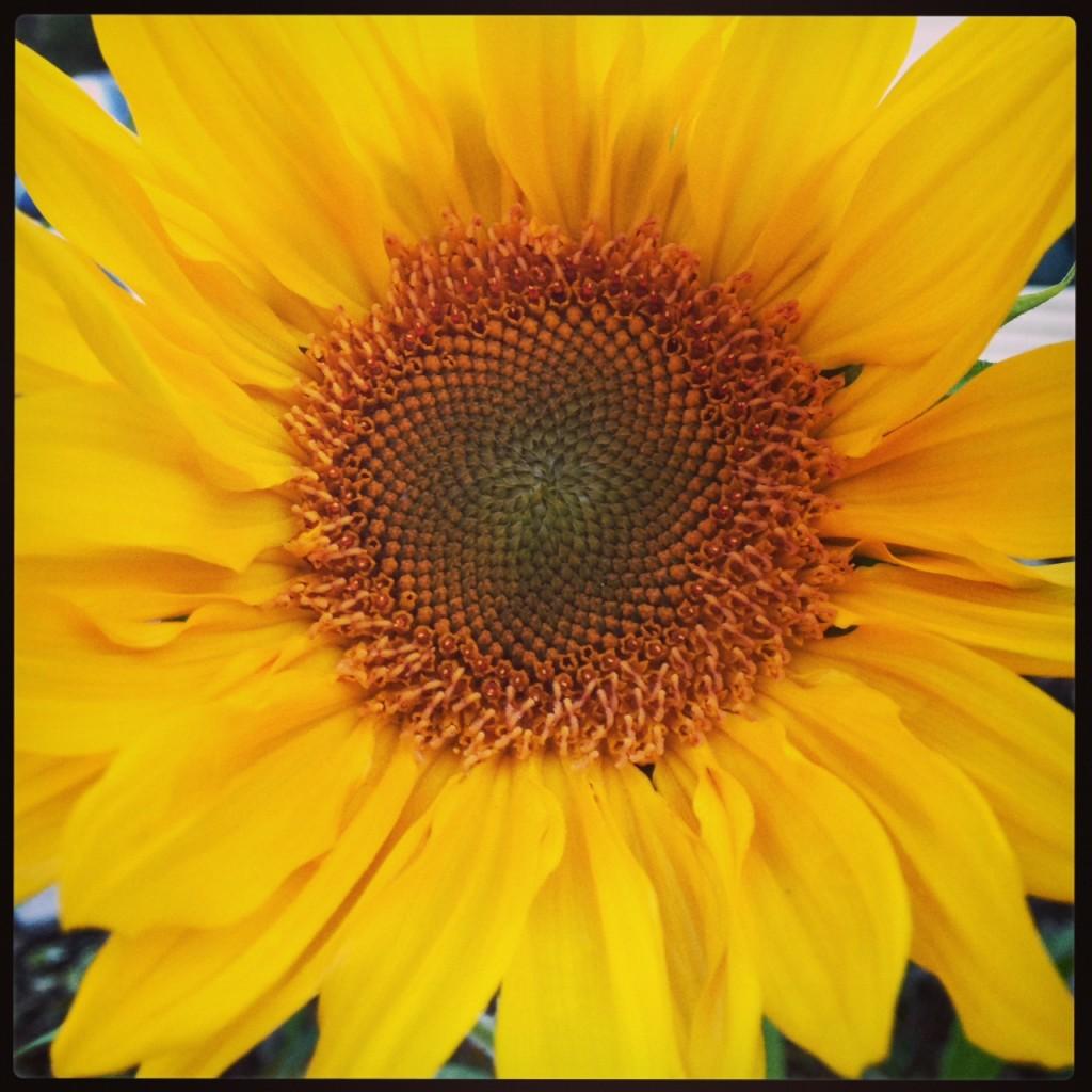 Sunflower (c) Kristen Dembroski
