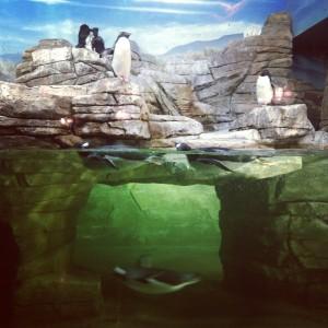Penguins (c) Kristen Dembroski
